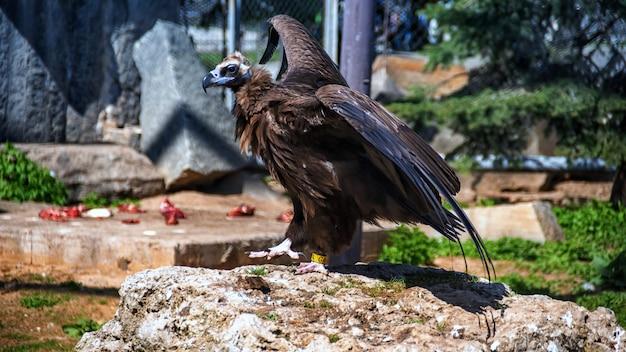 Стервятник (gyps fulvus) - крупный стервятник старого света в зоопарке. Premium Фотографии