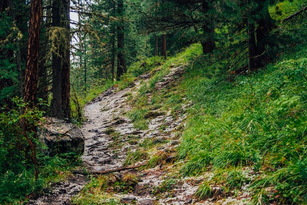Hailstone on trail in dark coniferous forest. atmospheric woodland landscape with rich forest flora. hail in woods. path in highlands. rise on mountain through woodland. way up in dark conifer forest. Premium Photo