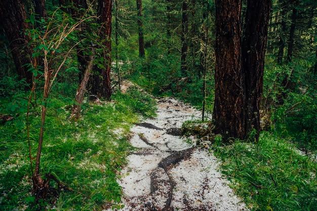 Hailstone on trail in dark coniferous forest Premium Photo