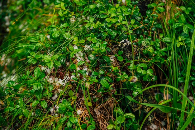 Hailstones on ground among rich vegetation in macro. big hailing on plants close-up. natural background of hail with greenery. hailstorm dropping among grasses. abnormal precipitation. amazing weather Premium Photo