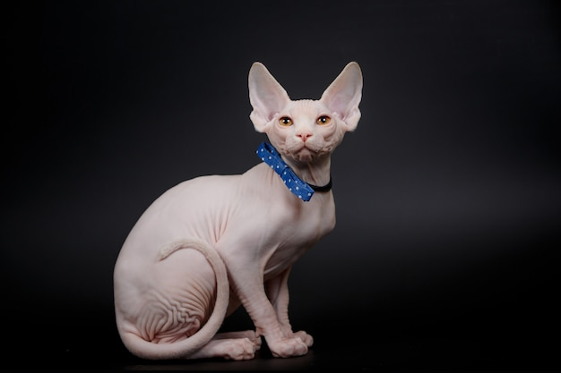 Premium Photo Hairless Canadian Sphynx Cat With A Bow Tie Isolated