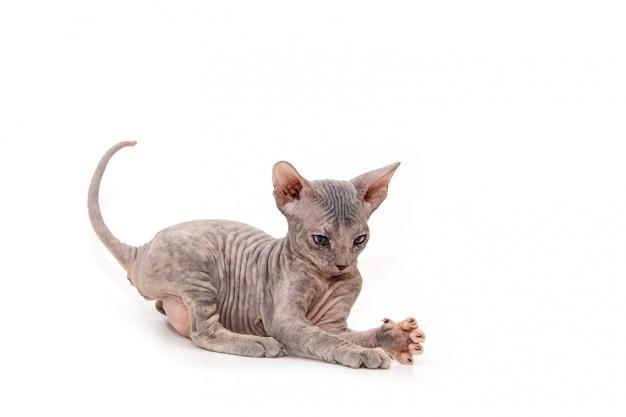 Hairless kitten plays Premium Photo