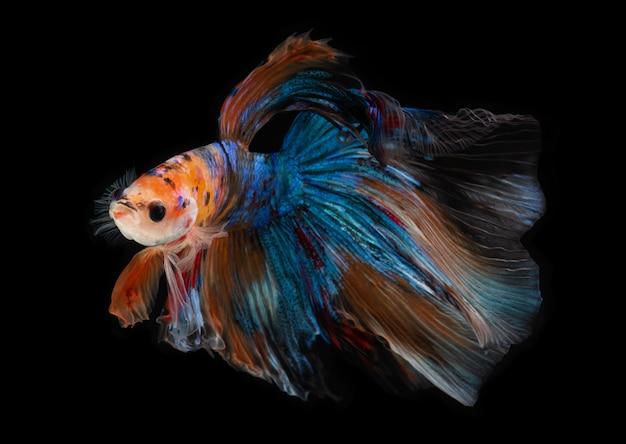 Half moon nemo betta fish. Premium Photo
