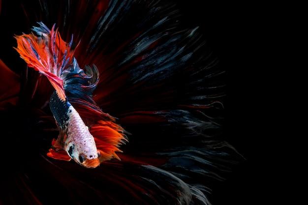 Halfmoon betta beautiful fish  capture the moving moment beautiful