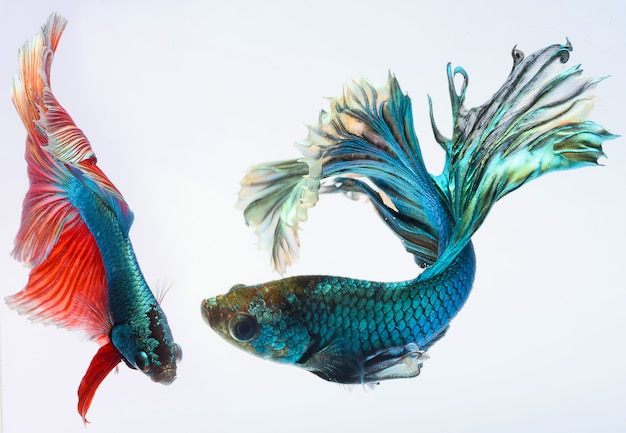 Halfmoon betta fish, siamese fighting fish, capture moving of fish, betta splendens Premium Photo