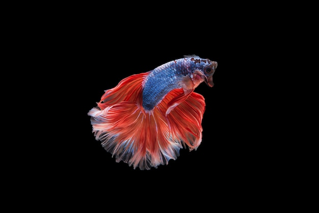 Halfmoon betta fish Free Photo