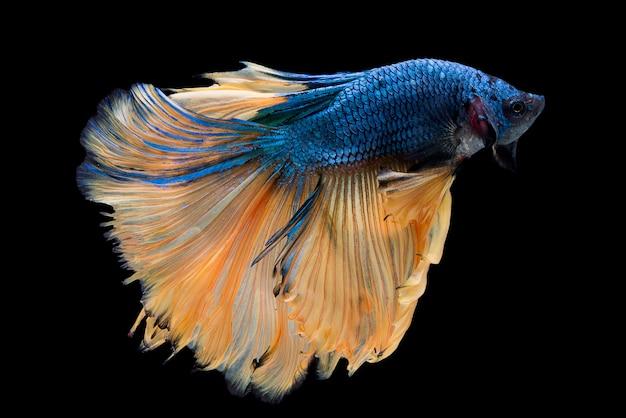 Halfmoon betta fish Бесплатные Фотографии