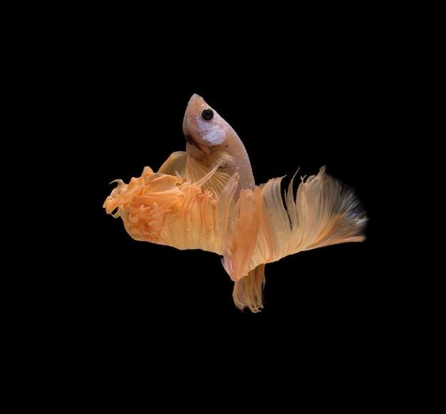 Halfmoon betta fish Free Photo