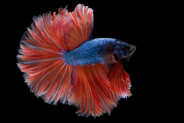 halfmoon betta fish photo premium download