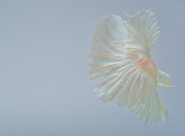 Halfmoon betta fish, сиамские боевые рыбы, захват рыбы, абстрактный фон хвоста рыбы Premium Фотографии