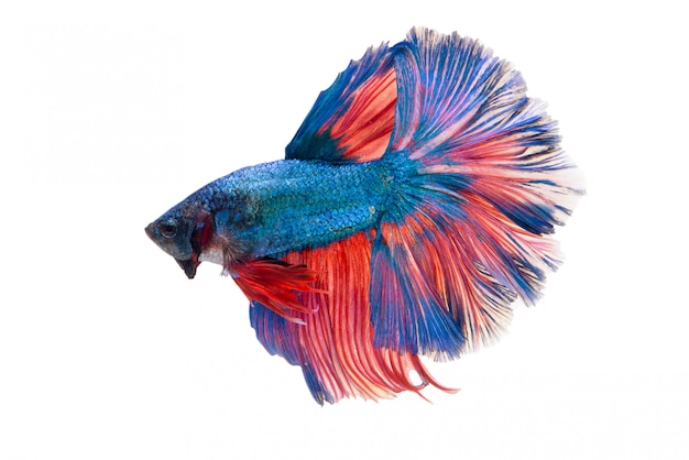 Полумесяц fancy betta fish Бесплатные Фотографии