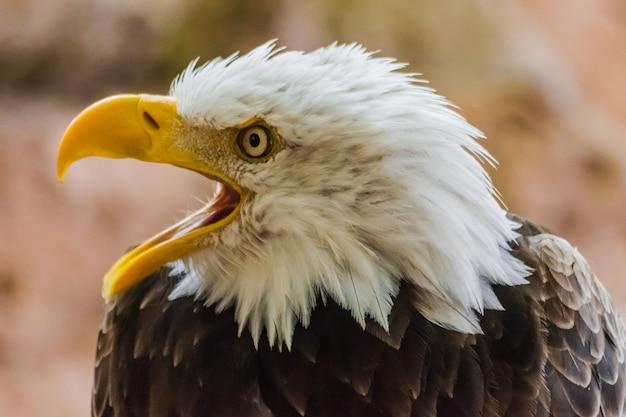 Белоголовый орлан с открытым клювом (haliaeetus leucocephalus) Premium Фотографии