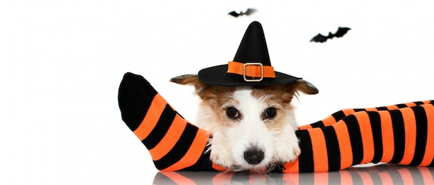 Halloween dog. wearing a witch  hat sitting  over   a child socks. Premium Photo