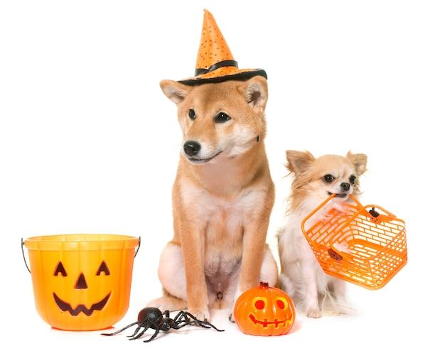 Halloween and dogs Premium Photo