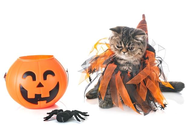 エキゾチックなショートヘア子猫とhallowen Premium写真
