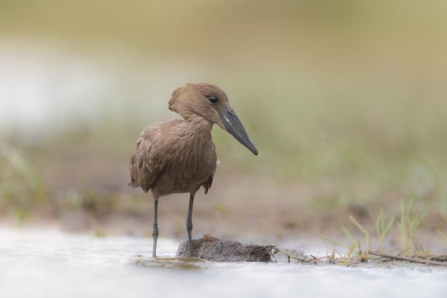 Хаммеркоп птица Бесплатные Фотографии