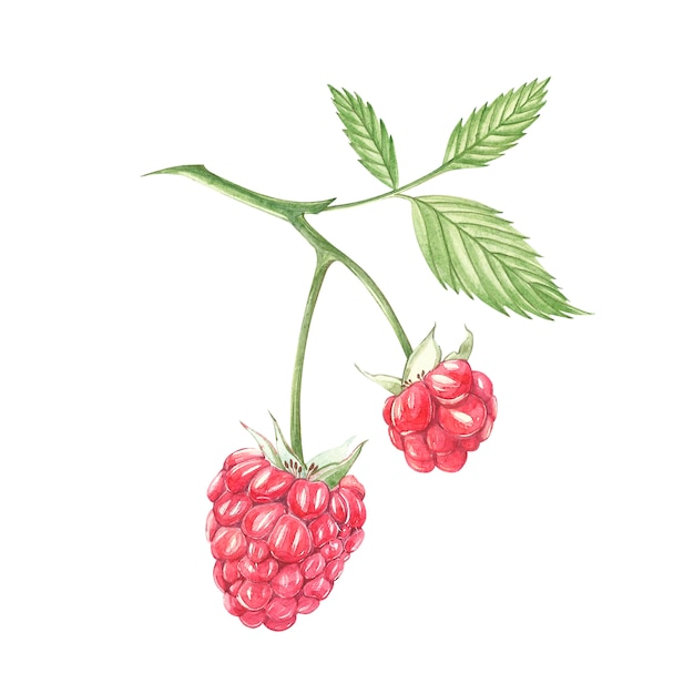 Hand drawn watercolor painting raspberry on white . botanical illustration. Premium Photo