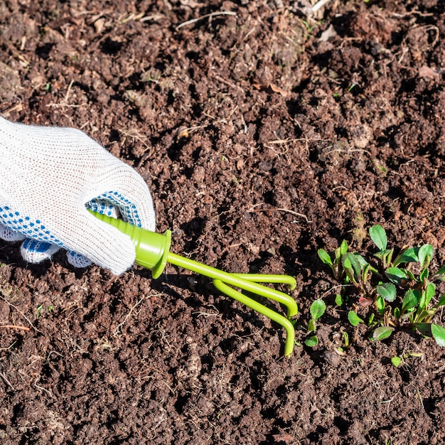 The hand in glove loosens the soil with a special tool hoe Premium Photo