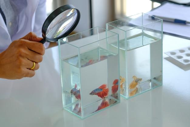 Ручное держите увеличительное стекло, анализируя красивую красную боевую рыбу, проверяющую таблицу. Premium Фотографии