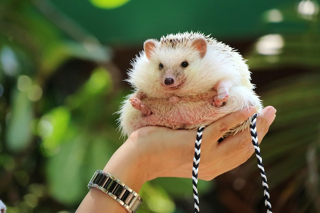 Hand holding cute young hedgehog with green leaves in summer Premium Photo