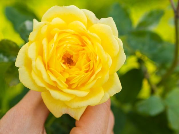 Hand holding lovely spring rose Free Photo