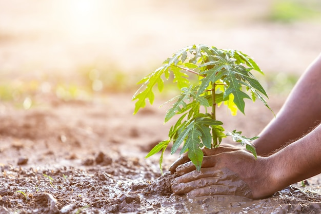 Hand holding soil and planting young papaya tree into soil. save world and ecology concept Premium Photo