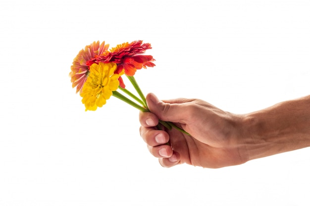 A hand holding three blossoming zinnia flowers as a gift and symbol of love concept isolated Premium Photo