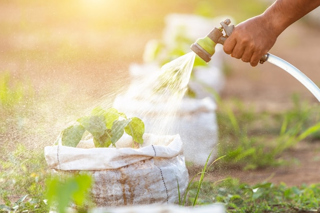 Hand holding water hose and watering young bean tree in garden Premium Photo