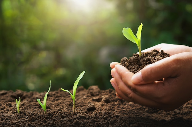 Hand holding young corn for planting in garden with sunrise Premium Photo