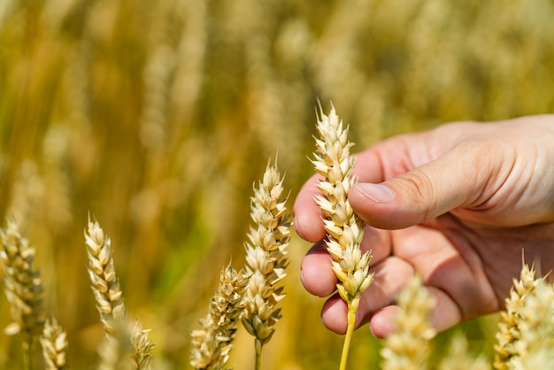 A hand of human touches stalk of wheat  in the field in the summer. Premium Photo