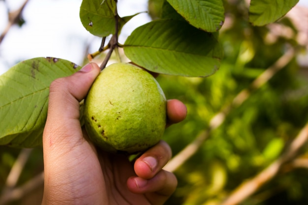 Hand picking guava fruit from a tree Free Photo