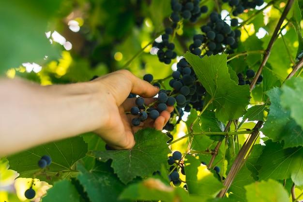 Hand picks grapes harvest for wine on summer day in garden farm Premium Photo