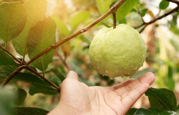 Hand reaching fresh guava in organic farm Premium Photo