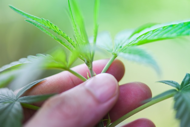 Hand touch marijuana leaves cannabis plant tree growing on nature green background Premium Photo