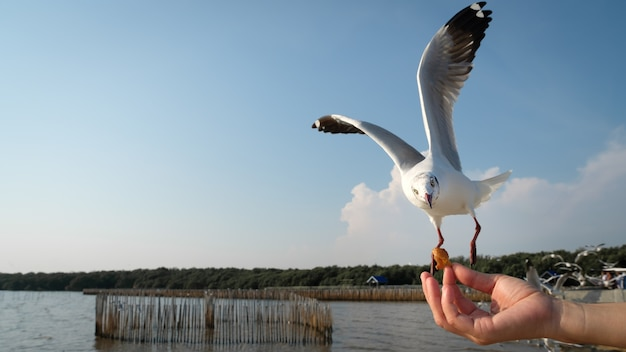The hand of a woman who feeds the seagulls to eat at the bang pu recreation center in samutprakarn, Premium Photo