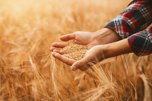 Premium Photo   Hands agronomist pours a handful of wheat grain on a wheat  field.