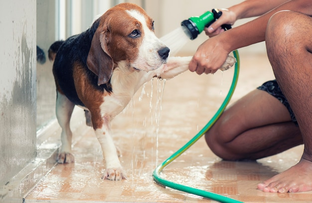 Hands are spraying water on the beagle dog. for cleaning the body Premium Photo