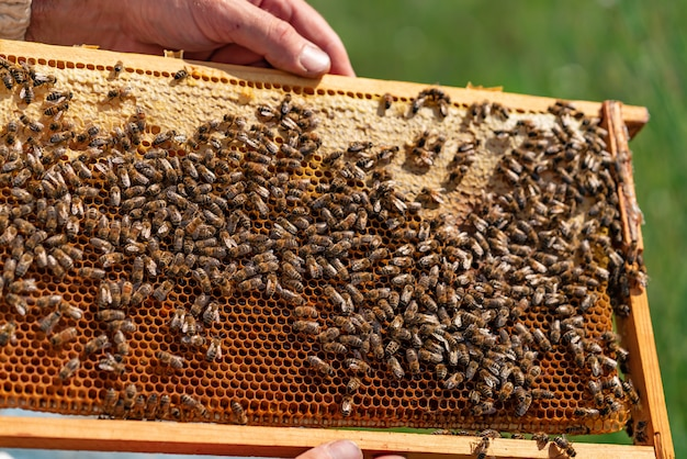The hands of a beekeeper holds a honey cell with bees Premium Photo
