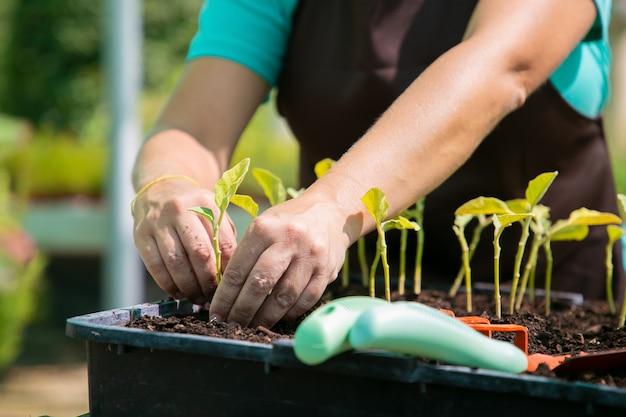 Mani del giardiniere femminile che pianta i germogli in contenitore con terreno. primo piano, colpo ritagliato, vista frontale. lavoro di giardinaggio, botanica, concetto di coltivazione. Foto Gratuite