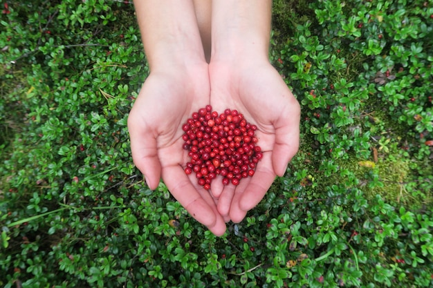 Hands holding a handful of cranberries. picking berries Premium Photo
