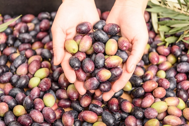 Hands holding olives, pile of olives background. harvest season. Free Photo