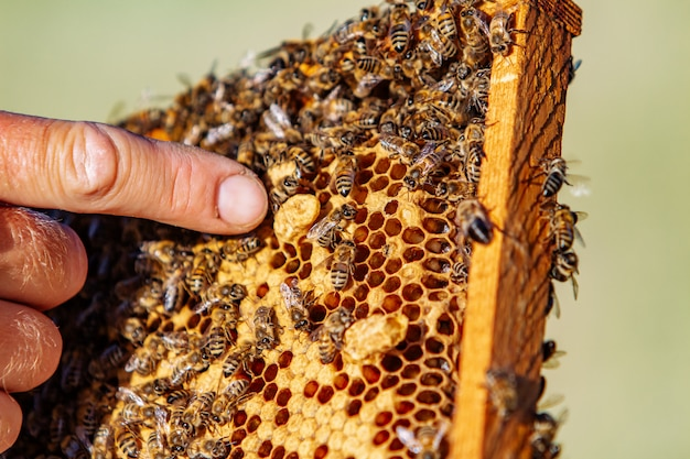 Hands of man shows a wooden frame with honeycombs Premium Photo