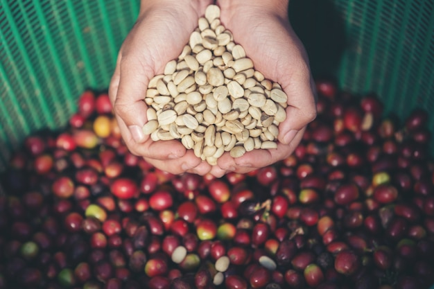 In the hands that carry coffee beans Free Photo