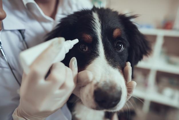 Hands of vet in gloves apply eye drops for dog Premium Photo