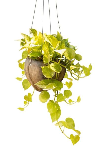 クリッピングパスを白で隔離される装飾用ココナッツポットに観葉植物をぶら下げ Premium写真
