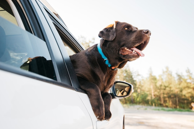 Happy black dog in car Free Photo