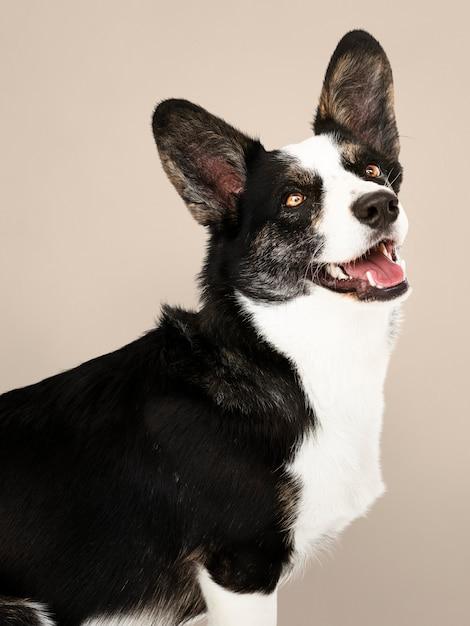 ハッピーカーディガンウエールズコーギー犬 無料写真