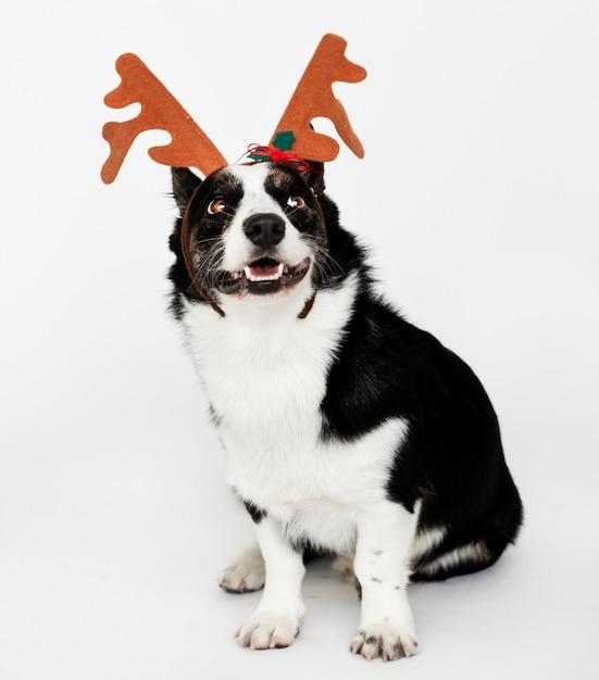 Happy cardigan welsh corgi wearing antlers Free Photo