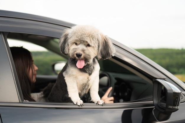 Happy dog is looking out of window of black car, smiling with tongue hanging out and drive Premium Photo