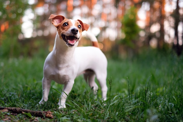 Happy dog, jack russell playing in the park Premium Photo